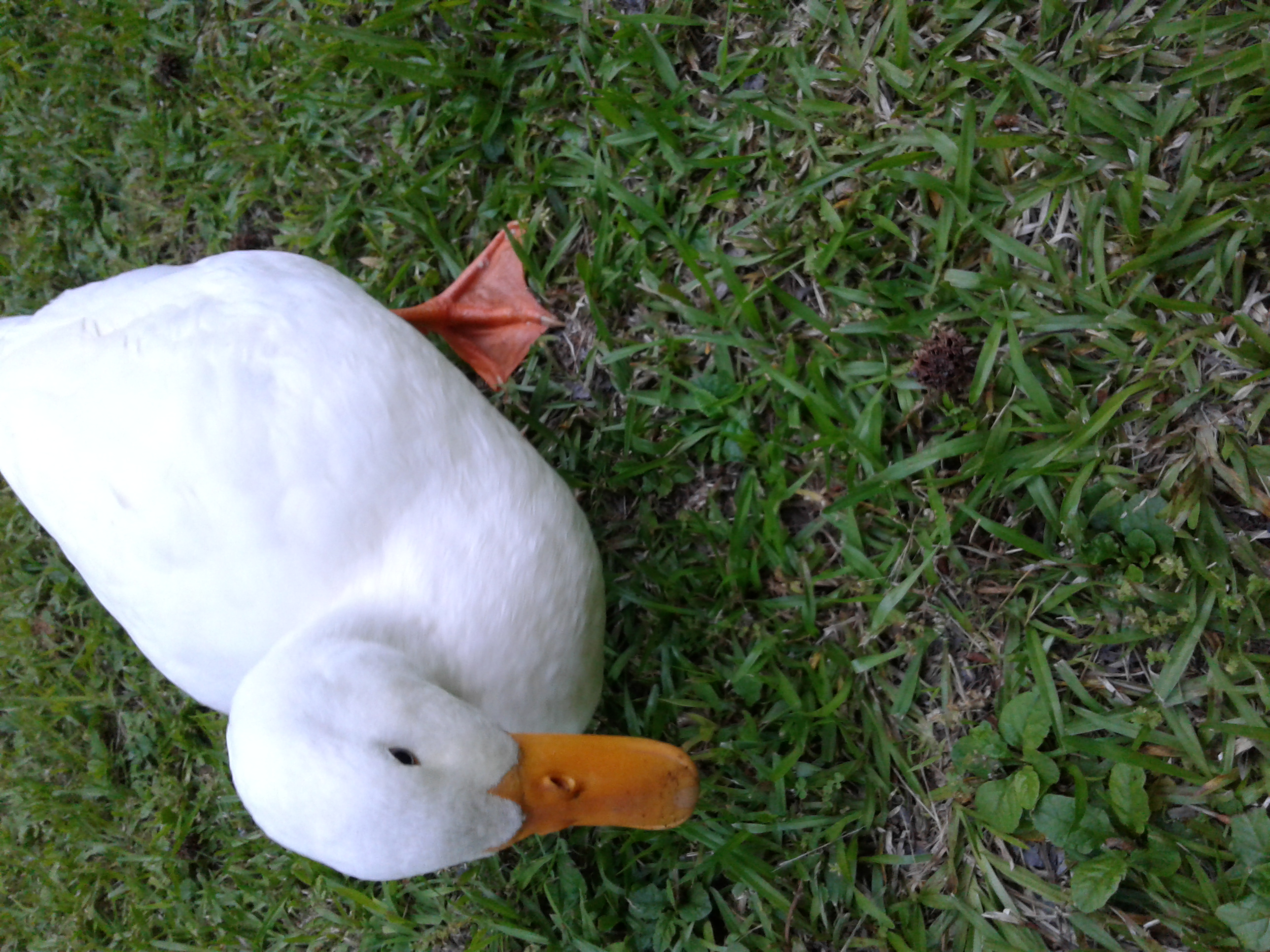 Do you accept ducks too? If so, this is my pet Donald. I know ducks aren't in Minecraft, but it could easily work as a reskin for the chicken.