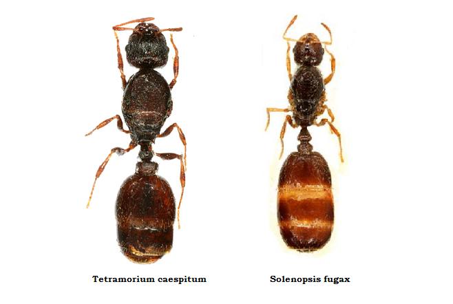 [Obrazek: Solenopsis-fugax-i-Tetramorium-caespitum.png]