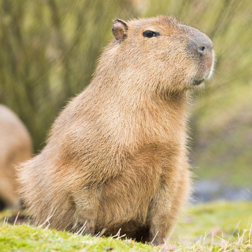 Gerbille ou Capybara Capybara-library