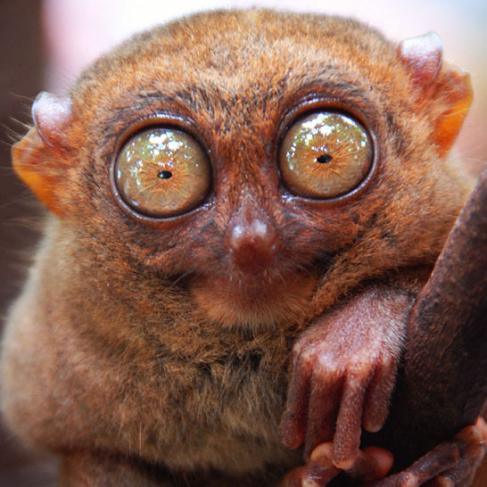 Les monstres sauvages Tarsier_nocturnal_animals