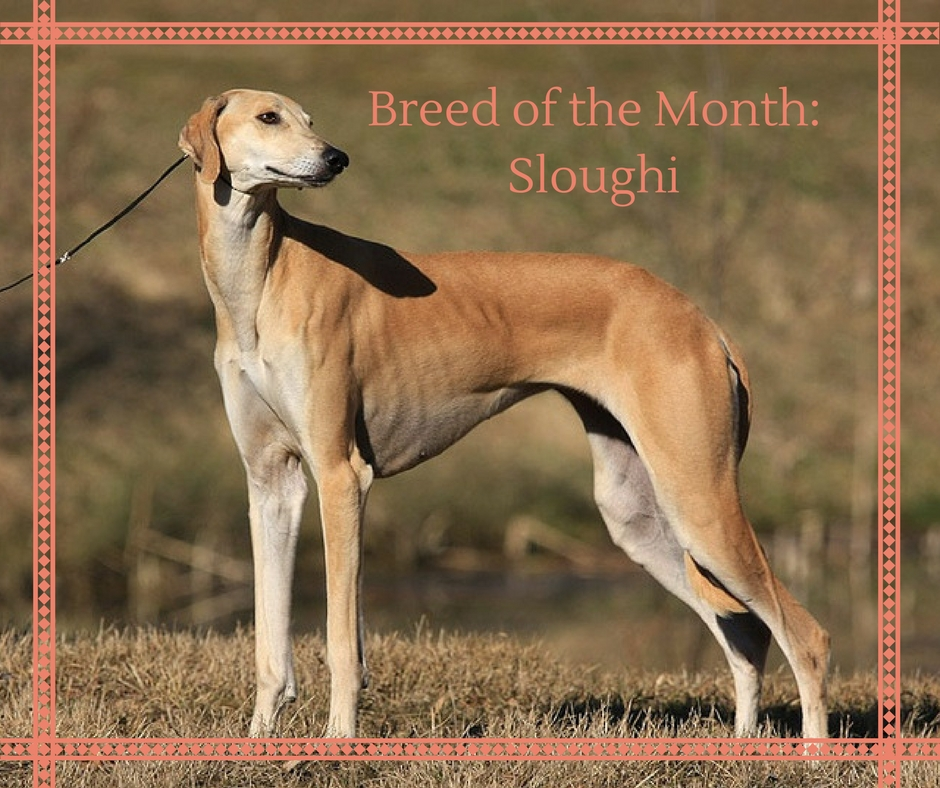Breed_of_the_Month_Sloughi.jpg