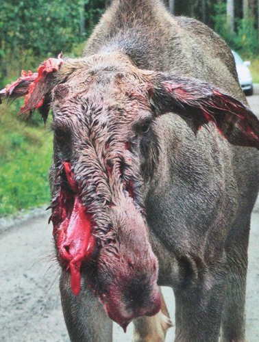 [Image: Zwolf-chewed-moose-2.jpg]
