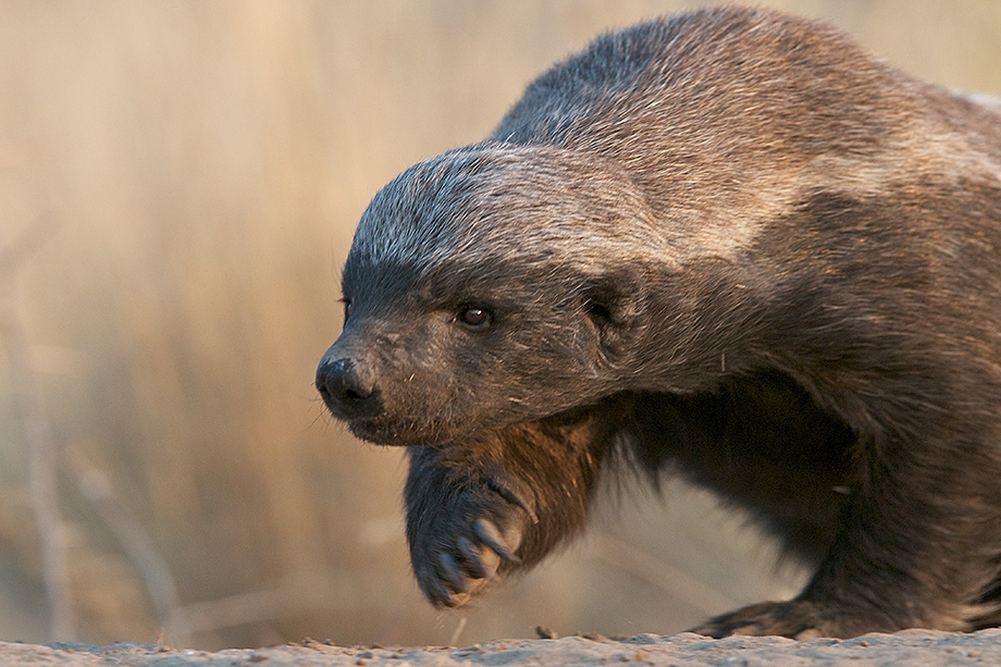 https://cdn.discordapp.com/attachments/430964259938238465/437414510215561216/1599358-honey-badger-wallpaper.jpg