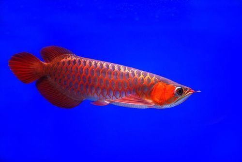 available-super-red-arowana-fishes-979.j