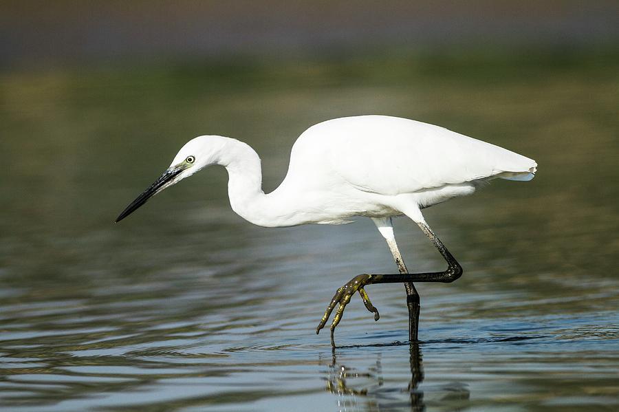 little-egret-egretta-garzetta-photostock-israel.jpg