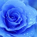 Demandes d'avatars - Page 2 Blue-Rose-roses-29859379-300-300