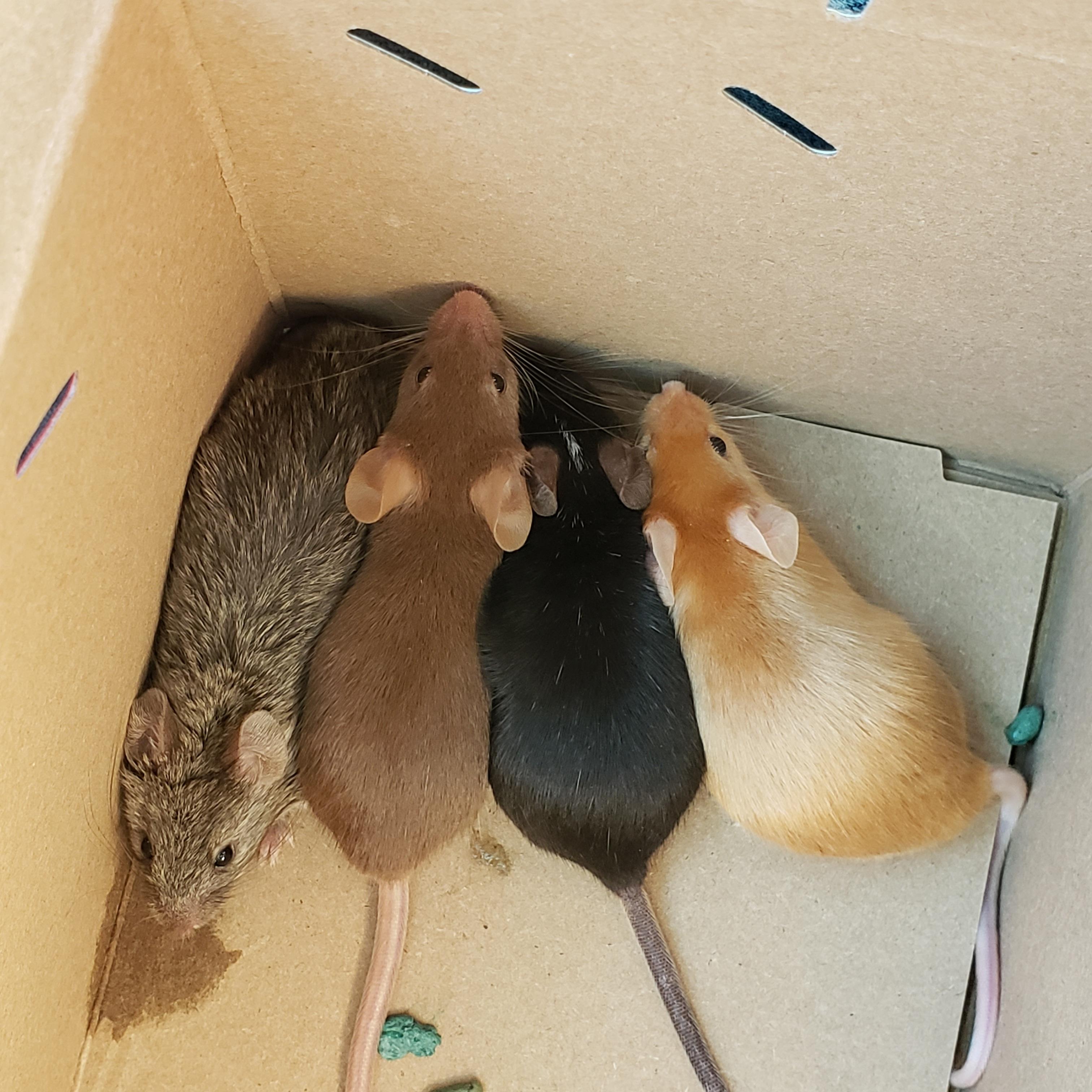 Proud Pet Parent of Four Adorable Mice! IMG_20190213_084507_015