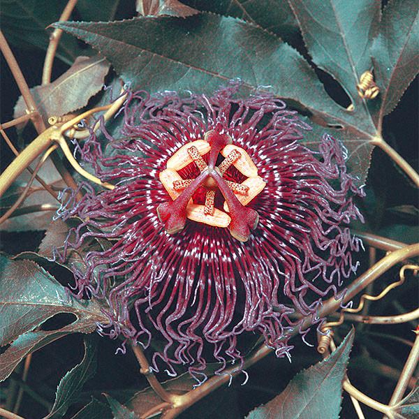Cryptyancaendius_Orchidoanthurium.png