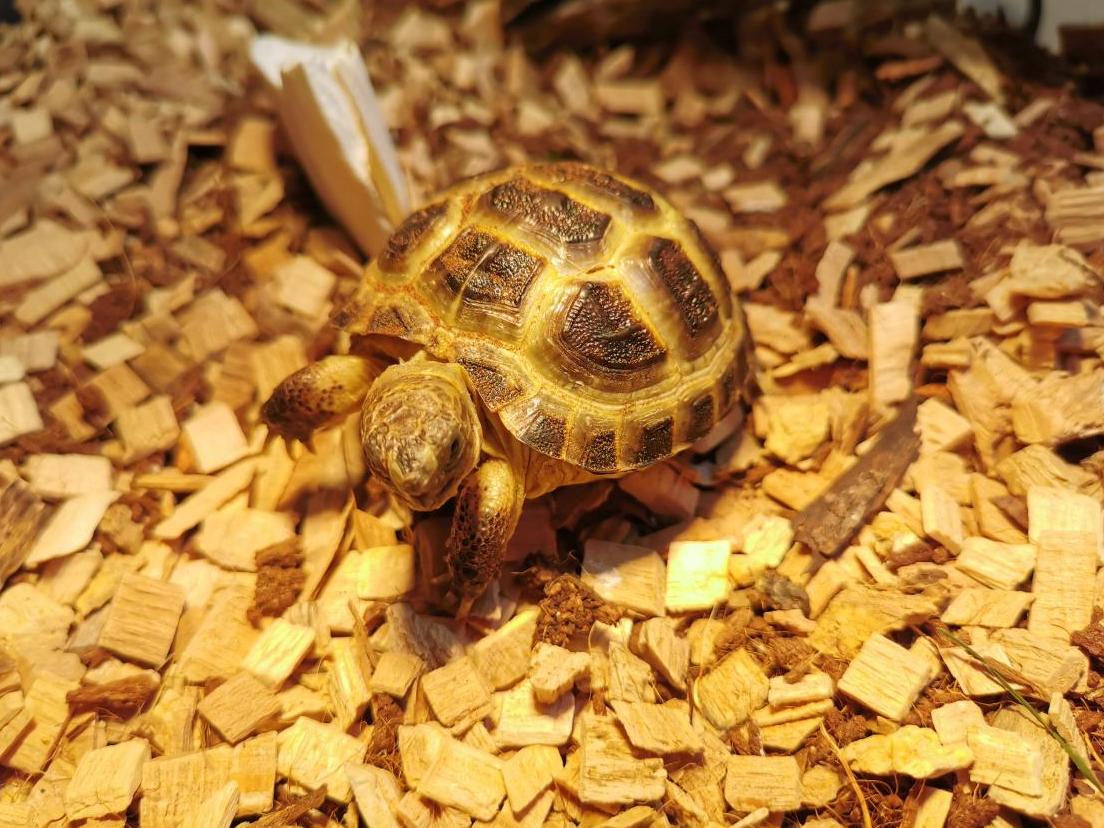 Jeune tortue des steppes qui mange beaucoup Unknown