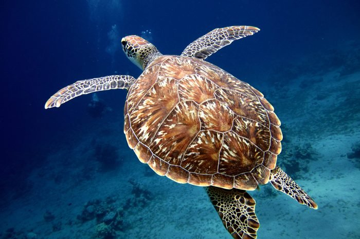 https://cdn.discordapp.com/attachments/710842486540468277/856061832842444840/Swimming-Turtle-with-Beautiful-Shell-scaled.png