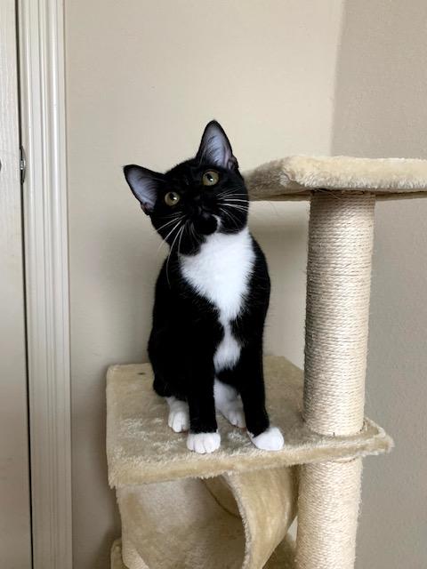 Lucy-Tuxedo-Cat.jpeg