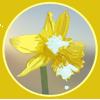 Flight_Rising_Token_Yellow_Daffodil.png