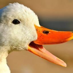 Logo for Quack