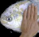 :patfish: Discord Emote