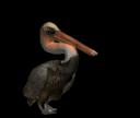 pelicanwalk
