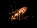 _roach