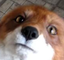 Emoji for foxLook