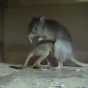 rathead