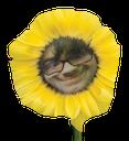 cocoflower