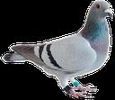 :pigeonTO: Discord Emote