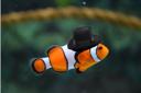 Dapperfish
