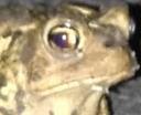 frogstare