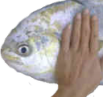 fishpat