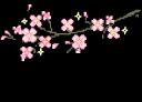 sakuraBlossoms