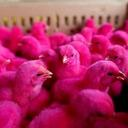 the pink chicks