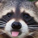 Raccoon Orgy