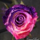 Rose Community