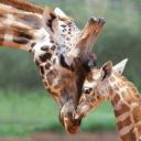 Giraffe United Nations