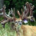 Queer Deer