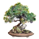 #RoyaleBonsai