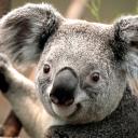 Koala Fans :)
