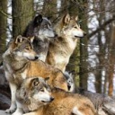 The Wolf Pack 2.0