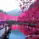 Land of Cherry Blossoms