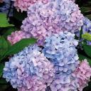 Blue Hydrangea Coven