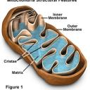 the mitochondria is the powerhouse of the cell