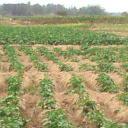 The Potato Farm