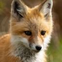FoxServer