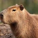 Capybara Club