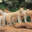 Dingo RP