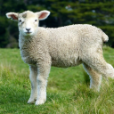 The Little Sheep