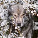 Colder Days: Wolf RP