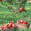 ✧・゚:* The Orchard *:・゚✧