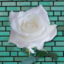 whiterosedpt Logo